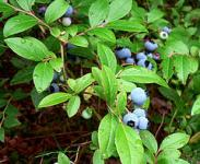 Discover health benefits of blueberries for the body, skin and hair!  Blueberries are known as a