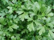 Discover health benefits of parsley!  Parsley is a good source of vitamins and minerals.  It has antioxidant benefits!
