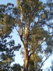 The Eucalyptus tree is aromatic.  Eucalyptus oil is extracted from, partially, dried leaves by steam distillation.  Discover Eucalyptus benefits for the body, skin, hair and scalp!  Homemade remedies!