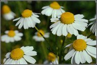 German chamomile is an annual herb.  It looks similar to a daisy, with a sweet apple scent.  It has benefits for the body, skin, hair and scalp!  Find homemade recipes!