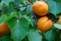 Apricot Kernel Oil is cold expeller pressed and refined from the kernels of the apricot fruit, Prunus armeniaca.