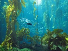 Discover seaweed benefits for body and skin!  Find seaweed grown and harvested from unpolluted waters.  Kelp is the largest form of seaweed.