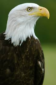 Find bird facts and fun trivia about bald eagles!