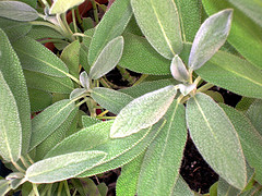 Common sage essential oil is steam distilled from the Salvia officinalis perennial, evergreen, shrub.  It differs, chemically and aromatically, from Clary sage oil.