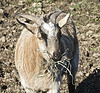 Discover characteristics of Fainting goats.  Find goat supplies, country jam festival and more!