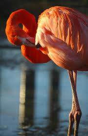 Find bird facts and fun trivia about flamingos.