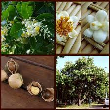 Tamanu oil is luxurious with a thick consistency and nutty aroma.  It comes from the Calophylium Inophylium tree, in the islands of the South Pacific.