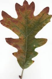 Find White Oak leaf facts, fun trivia and fun activities for kids!
