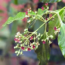 Sandalwod essential oil is steam distilled from the heartwood of the Santalum album tree.  True sandalwood is valuable since it's resource is so scarce!  Amyris oil is an inexpensive alternative.