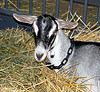 Learn the basics of goat care.  This Alpine dairy goat is sweet and compassionate.  Discover tips about raising goats!
