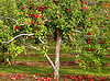Some apple trees grow over forty feet high.  Find fun trivia, now!