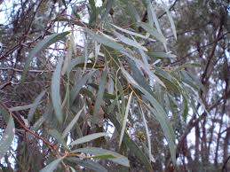 Eucalyptus Bicostata is also known as Blue Gum.  It has high levels of eucalyptus and alpha-pinene.  Eucalyptus benefits and homemade remedies!