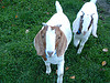 Play Animal Trivia Questions and Answers!  Can you name this goat breed?