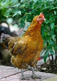 Find bird facts and fun trivia about chickens!