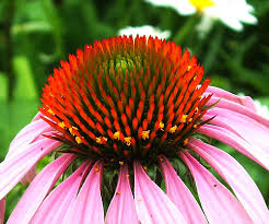 Echinacea benefits for body and skin!  Make homemade remedies!  Combat colds, bee stings, toothaches and more!  There are many benefits of echinacea!  Caution!  Learn echinacea side effects.