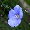 The Linum Usitatissimum is a blue flowering plant which bears fruit containing flaxseeds.  The benefits of flaxseeds are numerous for the body, inside and out!