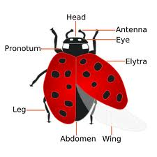 Learn the parts of a ladybug!  Find facts and fun trivia!  Find fun activities for kids!  Make homemade ladybug crafts!  FREE coloring sheets!