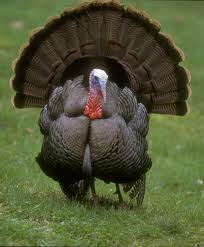 Discover turkey facts and fun trivia!  Find tips for raising turkeys!