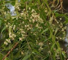 The Azadirachta indica, (Neem tree), grows up to sixty-six feet with spreading branches.  The bark, leaves, fruit, seeds and oils have medicinal properties!  Homemade remedies!  Neem oil uses!