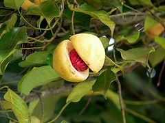 The Myristica fragrant evergreen tree produces tropical fruit.  Inside is an egg shaped seed, nutmeg, with a dried reddish covering.  Nutmeg oil is steam distilled from fresh, ground, seeds. Discover the benefits of nutmeg for the body, skin and hair!