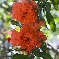 The Punica granatum, deciduous, tree bears pomegranate fruit.  Discover benefits of pomegranate with homemade recipes!