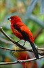 Find bird facts and fun trivia about cardinals!