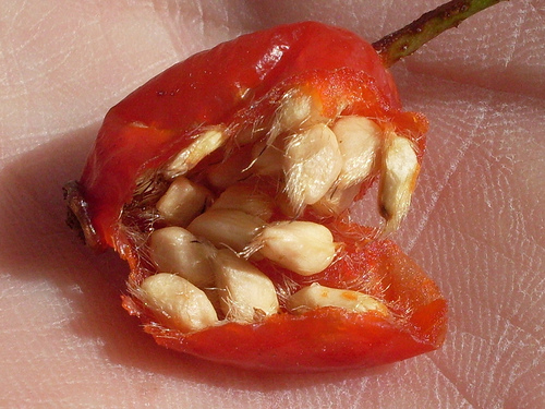 Rose hips have benefits for the body, skin and hair!  Discover facts, cautions and tips!  Use them for making homemade soap!  Follow soap recipes!