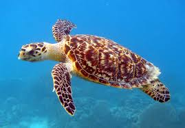 Find turtle facts and fun trivia!  Sea turtles can swim up to 35 mph.  FREE coloring sheets with cute images!