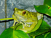 Find frog facts and fun trivia!  See cool frog pictures!  Watch a funny cartoon frog video!  Learn how to draw a frog!