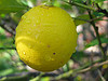 Lemons have benefits of vitamin C!  Discover other vitamin C foods!