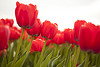 The most popular variety of tulips are the red varieties.  Find fun trivia!  Learn the parts of a flower!