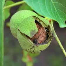 Walnut trees bear flesh, green, fruit containing a hard nut with seeds.  Discover the benefits of walnuts and walnut oil!