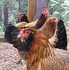 Find farm animal trivia and facts!  Find fun activities for kids!