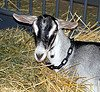Find fun goat facts!  Share your goat pictures and stories!  Goats can be cute pets!