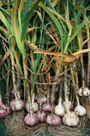 Garlic, (Allium sativum), is a bulbous plant related to onions, chives, leeks and shallots.  Find health benefits of garlic!  Discover garlic side effects!  Find tips for growing garlic!