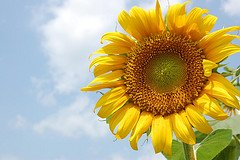 Sunflower seed oil is cold pressed from the seeds of the Helianthus annus, sunflower.  The sunflower is a sturdy plant, growing five to twelve feet tall!